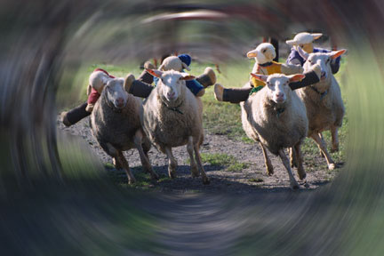 Sheep Race at the Big Sheep Abbotsham  from original photo copyright BD Adams