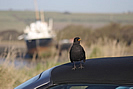 Blackbird at home by Fremington Quay photo copyright Pat Adams