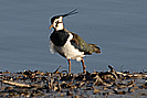 Fremington Quay Lapwing photo copyright Pat Adams