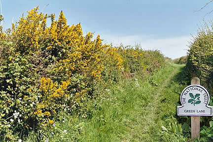 Common Gorse - Green Lane in the Spring - A fine example of a natural Devon hedgerow