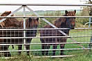 Triplets - The Nosy Ponies