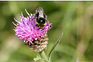 Busy Bee feasting on the pollen from a Common Knapweed