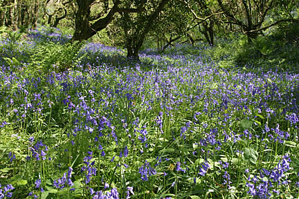 Bluebell Woods in the Spring - South West Coast Path