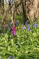 Wild flowers in the woods -  Early Orchids and Bluebells