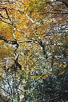 In Contrast - the hard outline of the twisted branches against the soft amber leaves