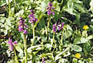 Early purple orchids