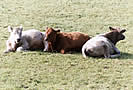 Triplets - Basking Bullocks