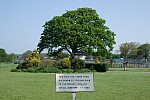 Victoria Park Bideford Oak Tree photo copyright Brett Adams
